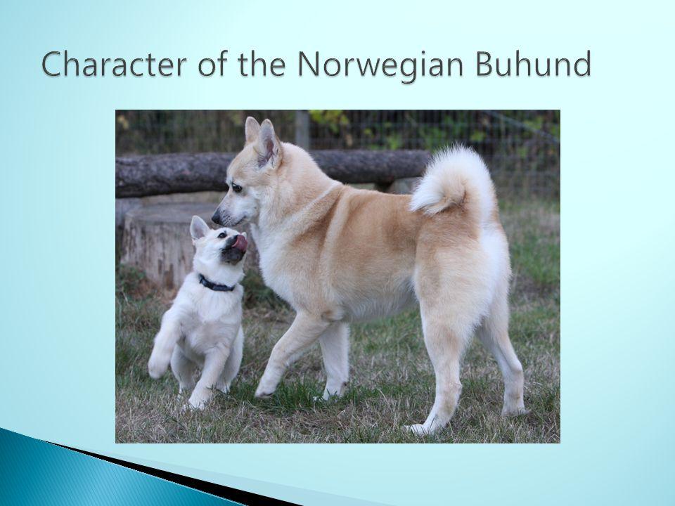 Character of the Norwegian Buhund