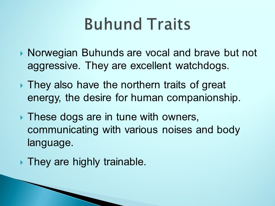 Buhund Traits Norwegian Buhunds are vocal and brave but not aggressive. They are excellent watchdogs.