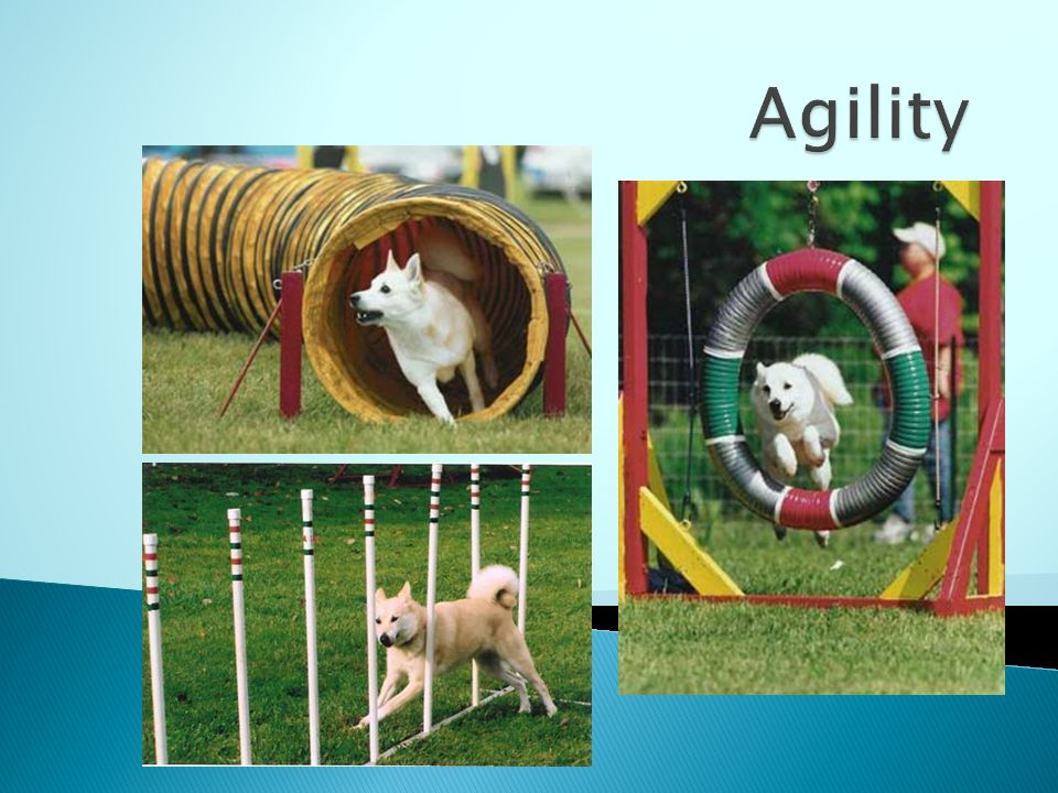 Agility There are several Buhunds with Rally and Agility titles.