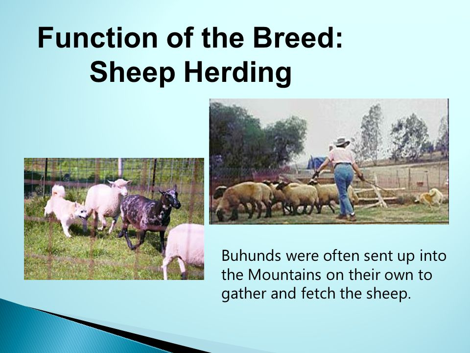 Function of the Breed: Sheep Herding
