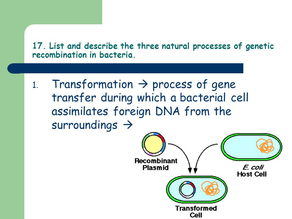 17. List and describe the three natural processes of genetic recombination in bacteria.