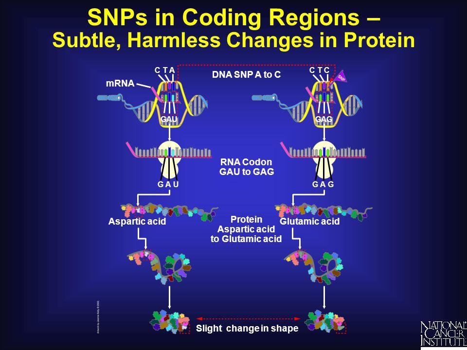 SNPs in Coding Regions –