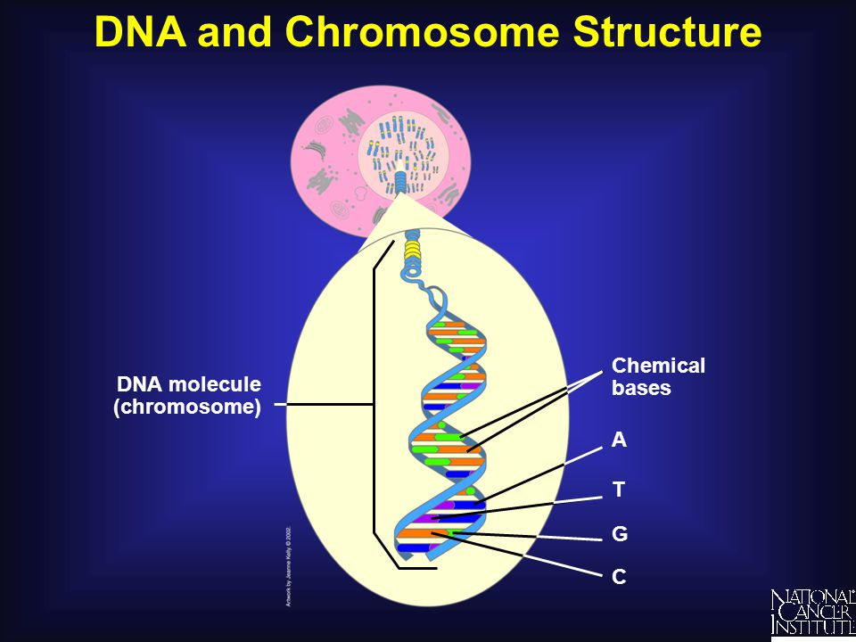 DNA and Chromosome Structure