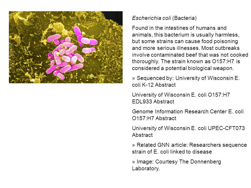 Escherichia coli (Bacteria)
