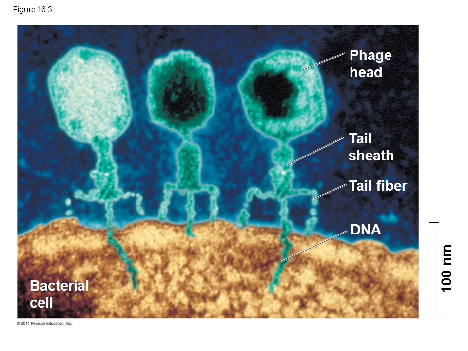 Phage head Tail sheath Tail fiber DNA 100 nm Bacterial cell