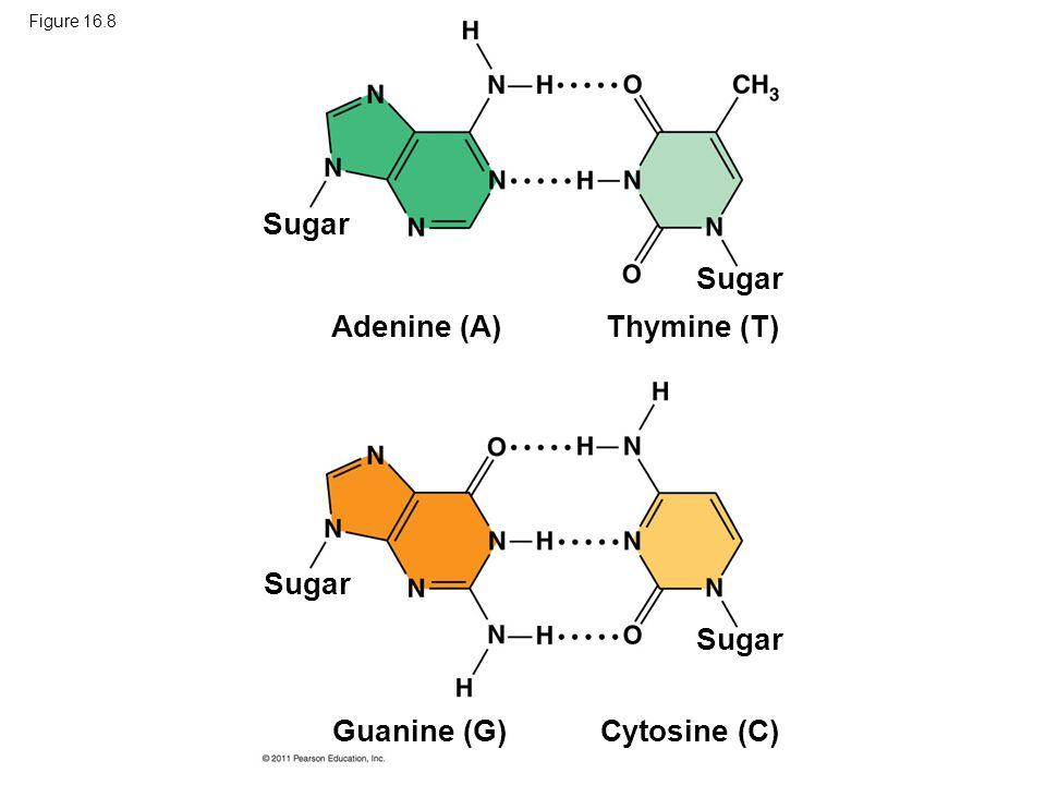 Sugar Sugar Adenine (A) Thymine (T) Sugar Sugar Guanine (G)