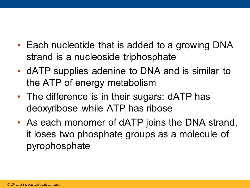 Each nucleotide that is added to a growing DNA strand is a nucleoside triphosphate