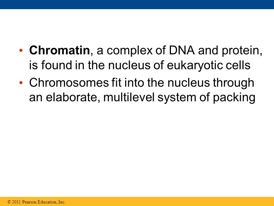 Chromatin, a complex of DNA and protein, is found in the nucleus of eukaryotic cells