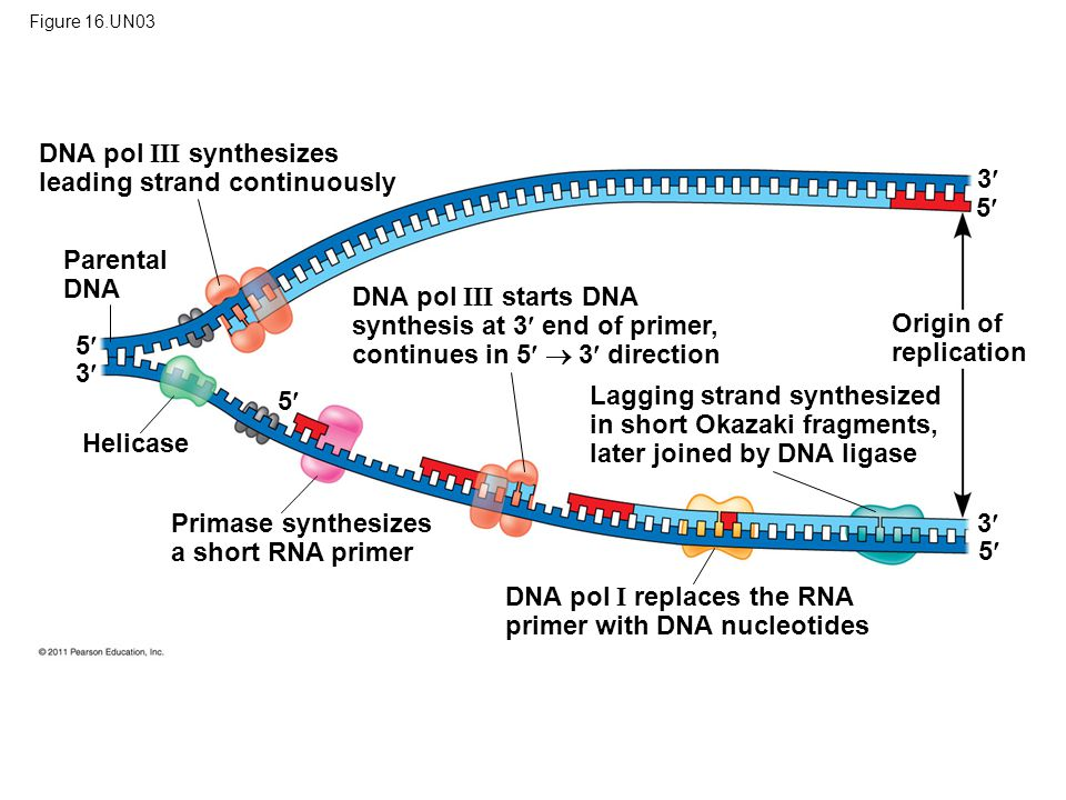 DNA pol III synthesizes leading strand continuously 3 5