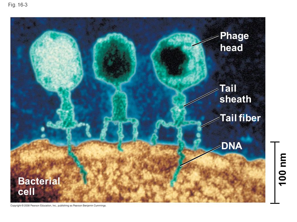 Phage head Tail sheath Tail fiber DNA 100 nm Bacterial cell Fig. 16-3