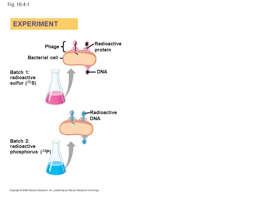 EXPERIMENT Radioactive protein Phage Bacterial cell DNA