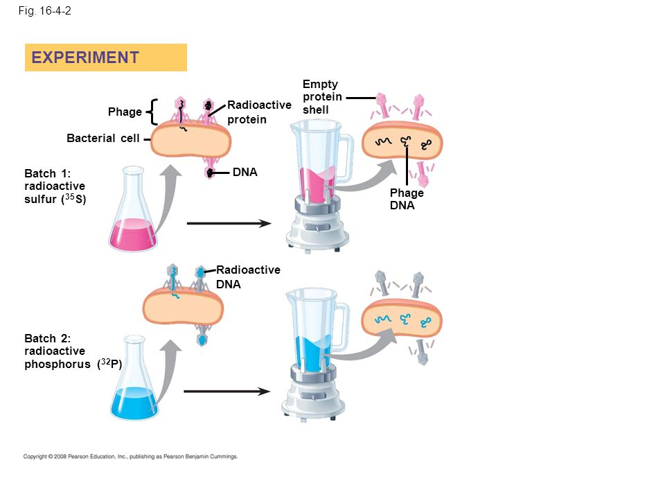 EXPERIMENT Empty protein shell Radioactive protein Phage