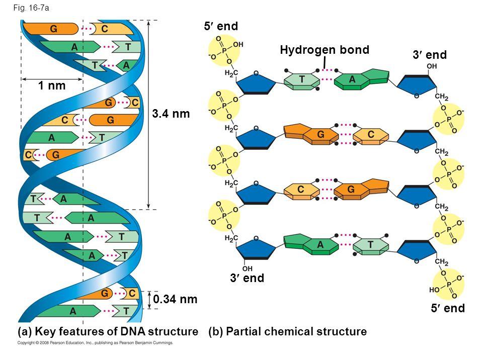5 end Hydrogen bond 3 end 1 nm 3.4 nm 3 end 0.34 nm 5 end