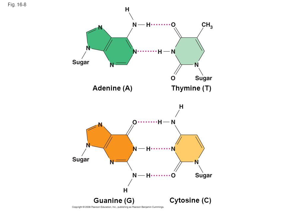 Adenine (A) Thymine (T) Guanine (G) Cytosine (C) Fig. 16-8