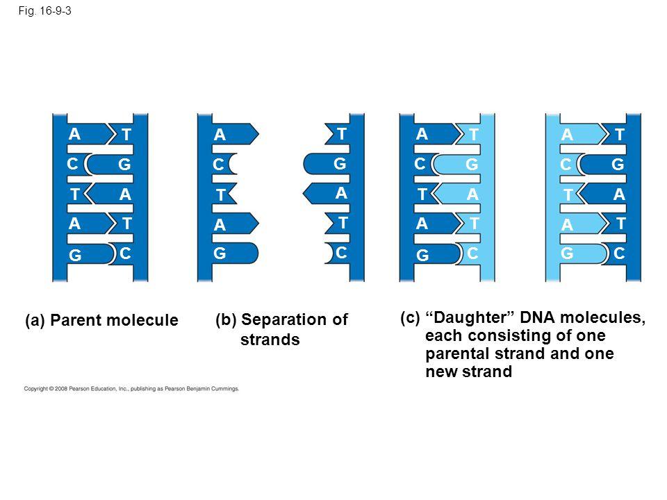 (b) Separation of strands
