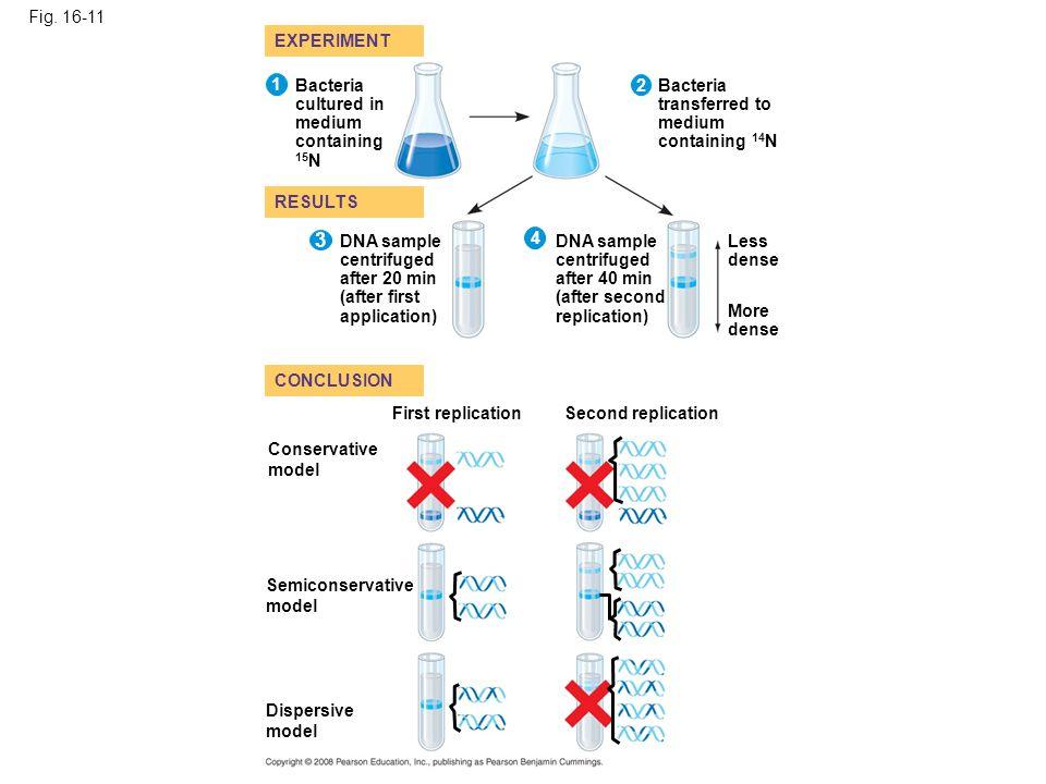 3 Fig. 16-11 EXPERIMENT 1 Bacteria cultured in medium containing 15N 2