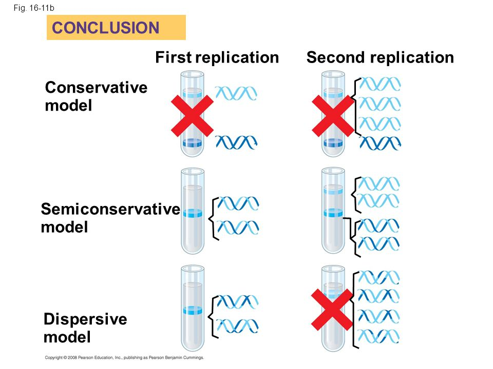 Semiconservative model
