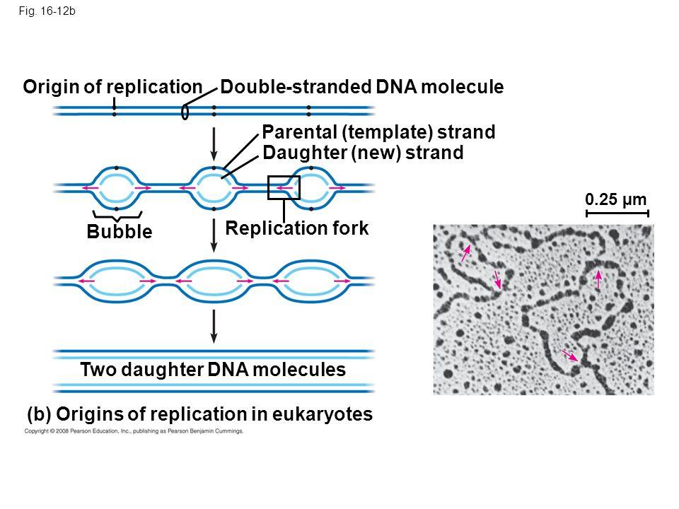 Double-stranded DNA molecule
