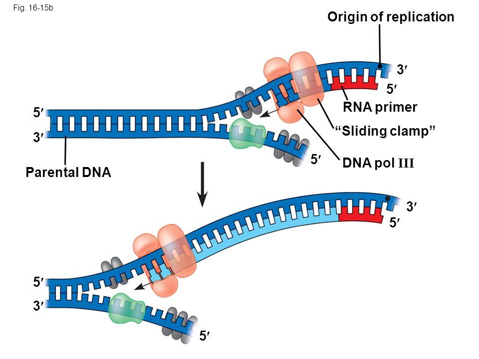 Origin of replication 3 5 RNA primer 5 Sliding clamp 3 5