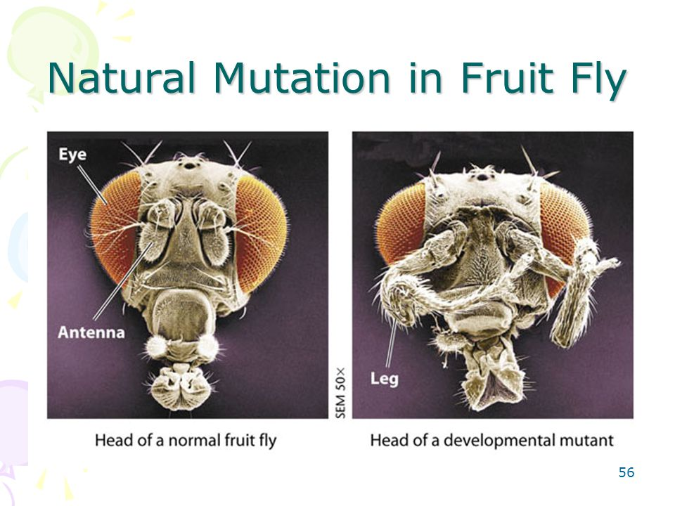 Natural Mutation in Fruit Fly