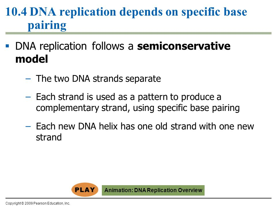 10.4 DNA replication depends on specific base pairing