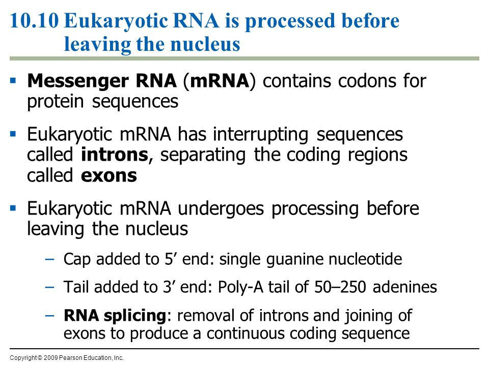 10.10 Eukaryotic RNA is processed before leaving the nucleus