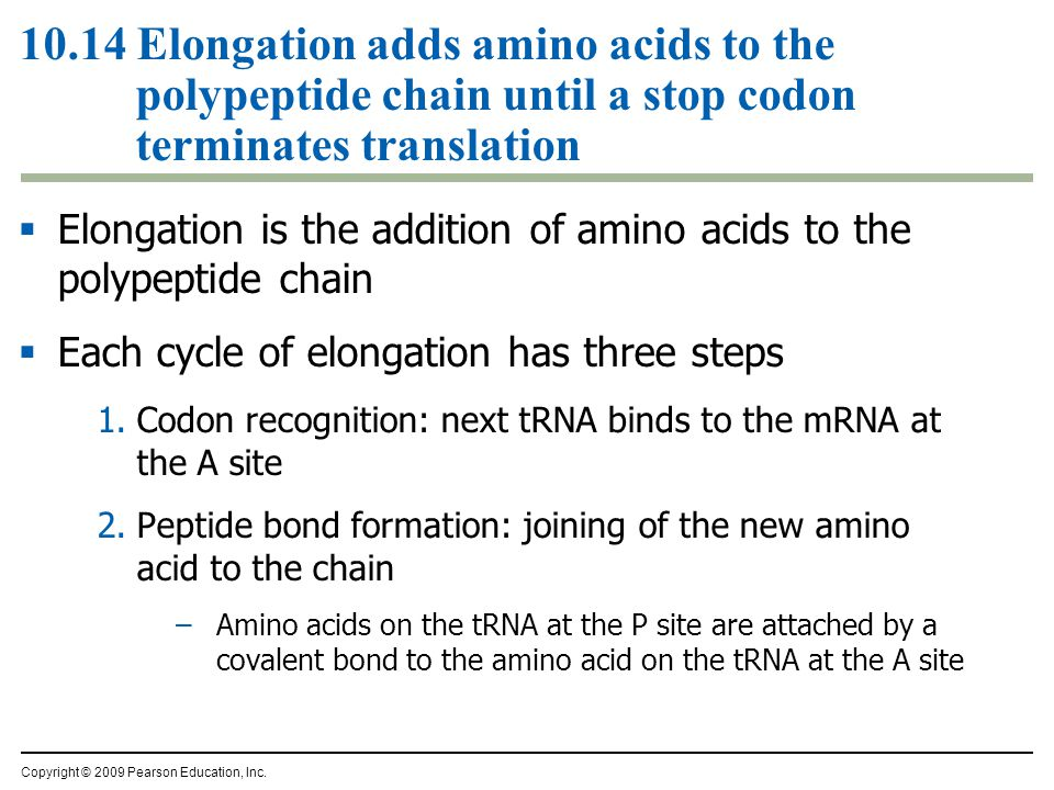 10.14 Elongation adds amino acids to the polypeptide chain until a stop codon terminates translation