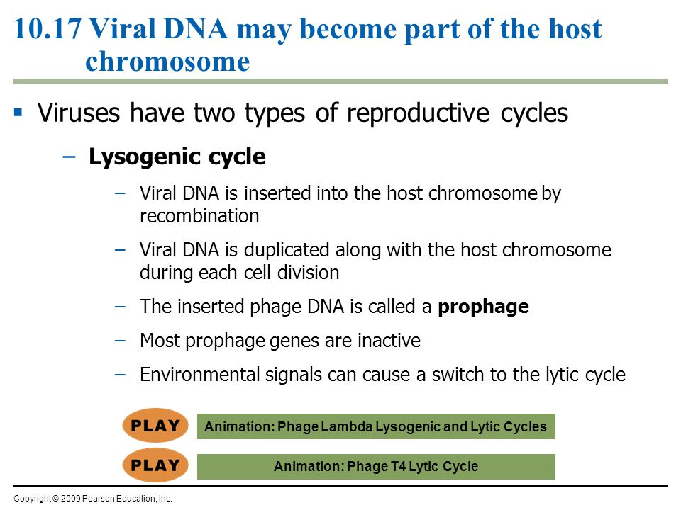 10.17 Viral DNA may become part of the host chromosome