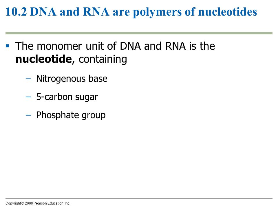 10.2 DNA and RNA are polymers of nucleotides