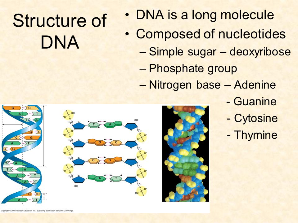Structure of DNA DNA is a long molecule Composed of nucleotides