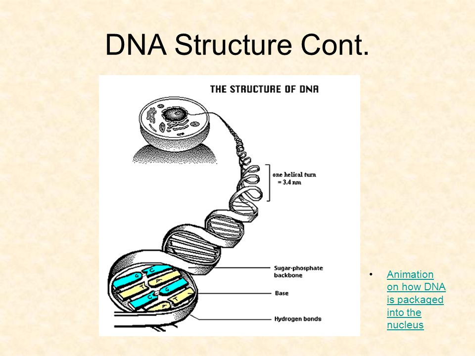 DNA Structure Cont. Animation on how DNA is packaged into the nucleus