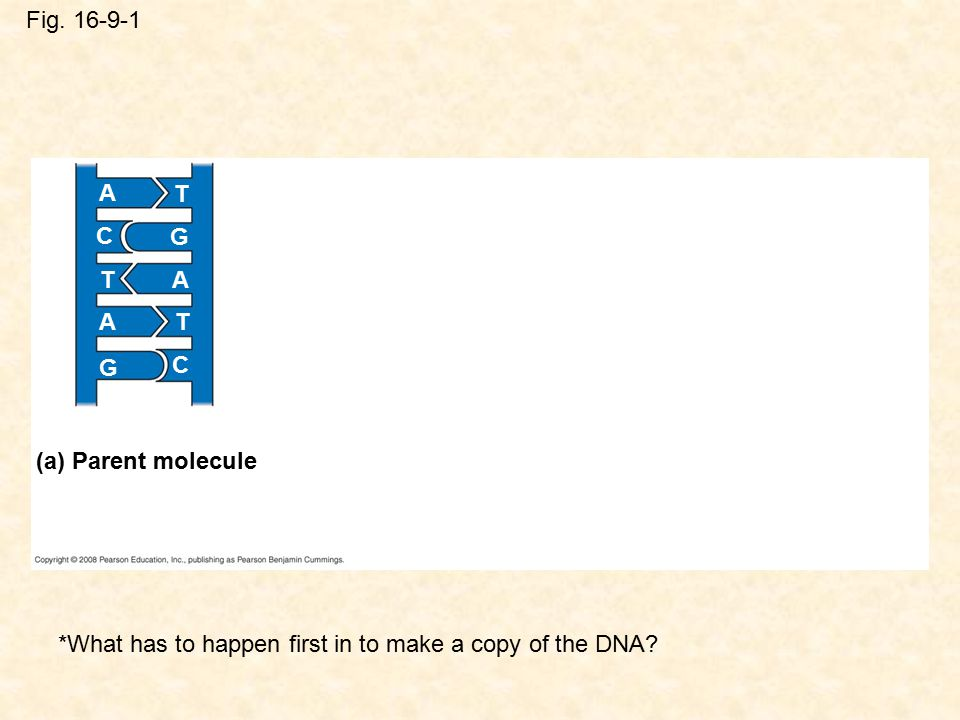 *What has to happen first in to make a copy of the DNA