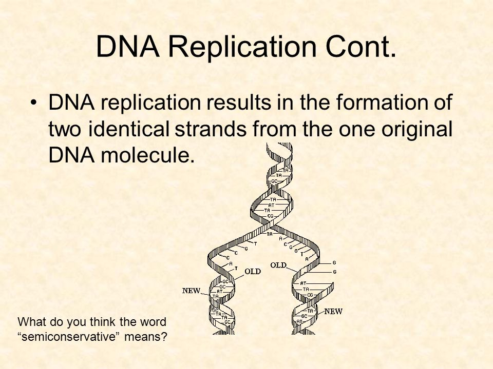 DNA Replication Cont. DNA replication results in the formation of two identical strands from the one original DNA molecule.