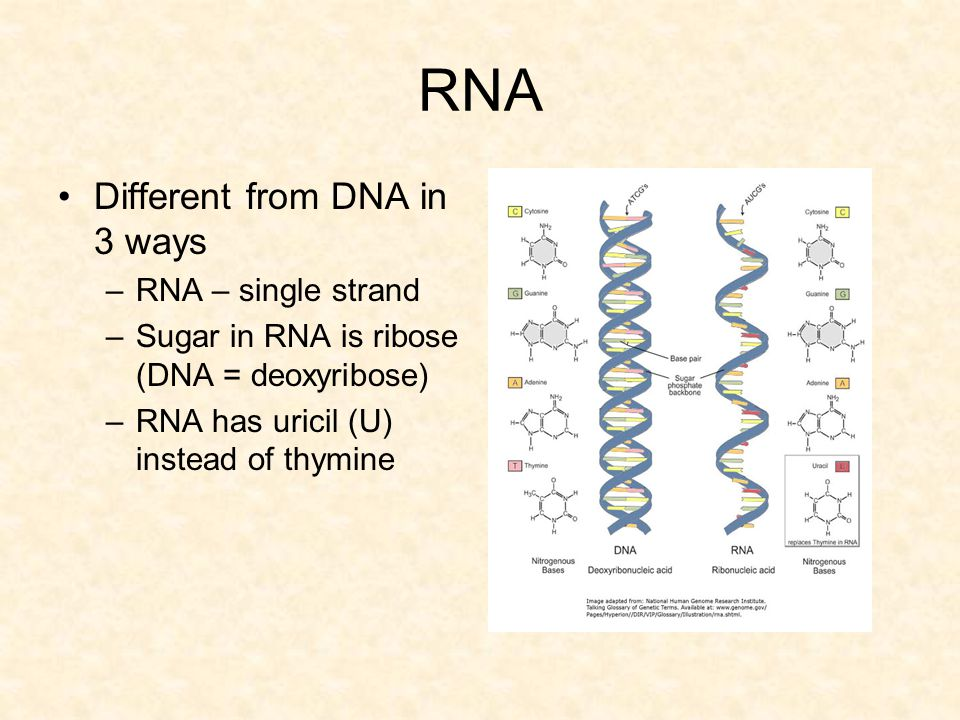 RNA Different from DNA in 3 ways RNA – single strand