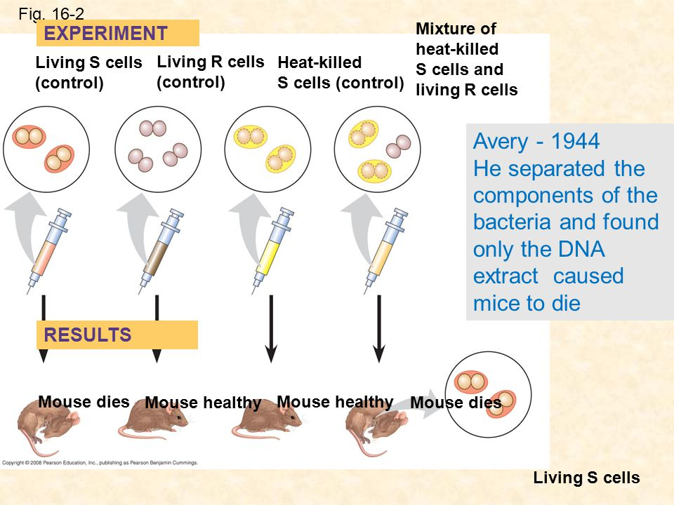 Fig. 16-2 Mixture of heat-killed S cells and living R cells. EXPERIMENT. Living S cells (control)