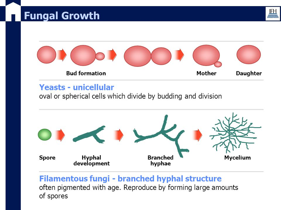 Fungal Growth Bud formation. Mother. Daughter. Yeasts - unicellular oval or spherical cells which divide by budding and division.