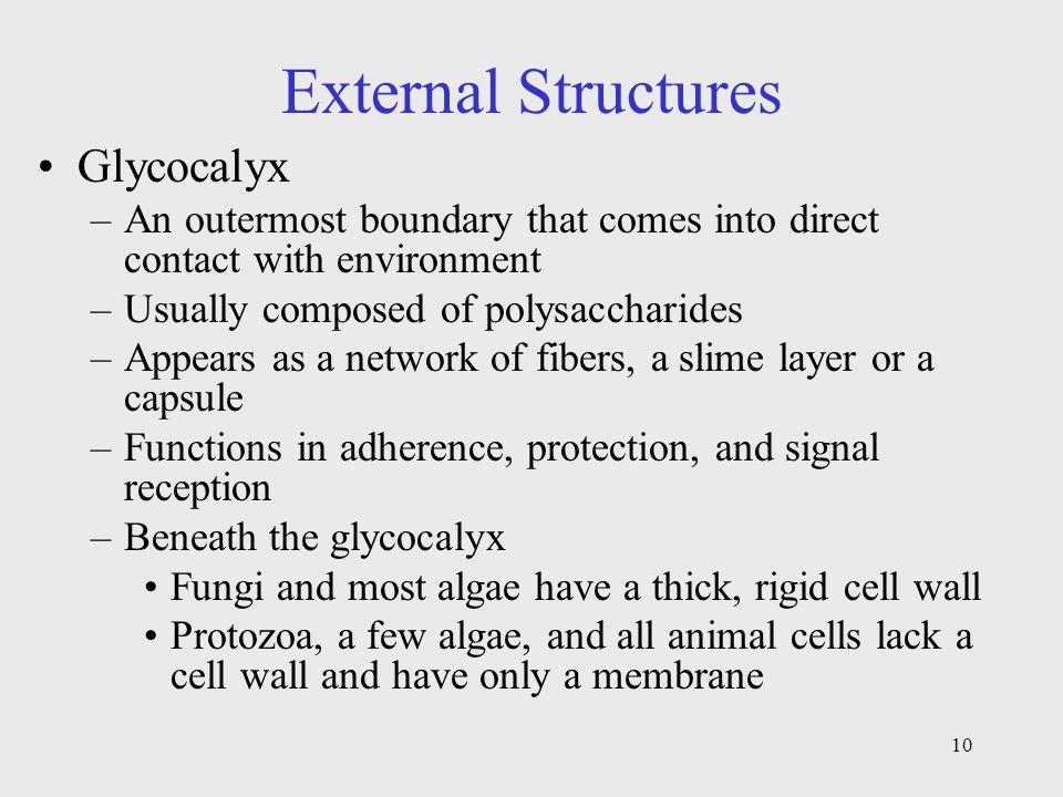 External Structures Glycocalyx