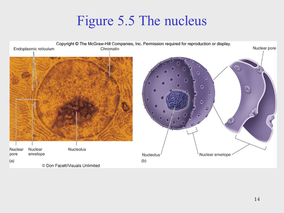 Figure 5.5 The nucleus