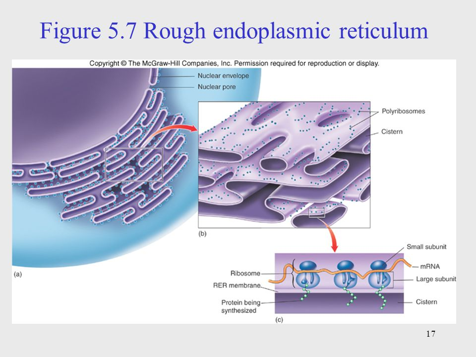 Figure 5.7 Rough endoplasmic reticulum