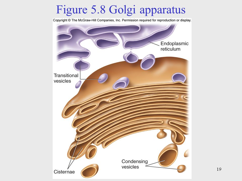Figure 5.8 Golgi apparatus