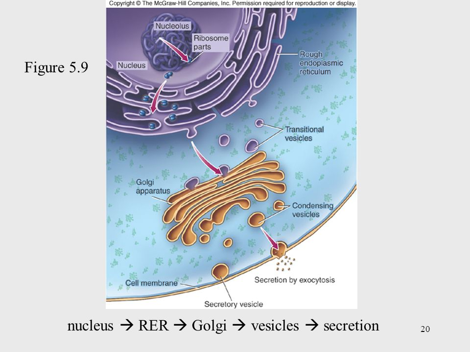 Figure 5.9 nucleus  RER  Golgi  vesicles  secretion