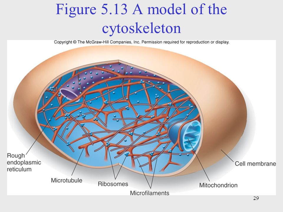 Figure 5.13 A model of the cytoskeleton