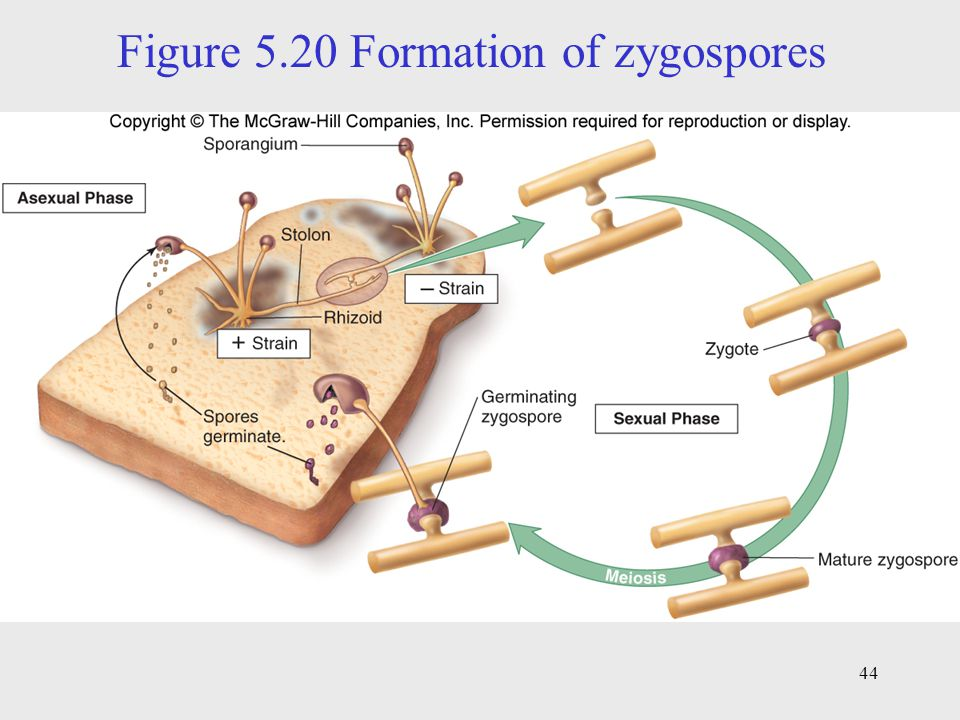 Figure 5.20 Formation of zygospores
