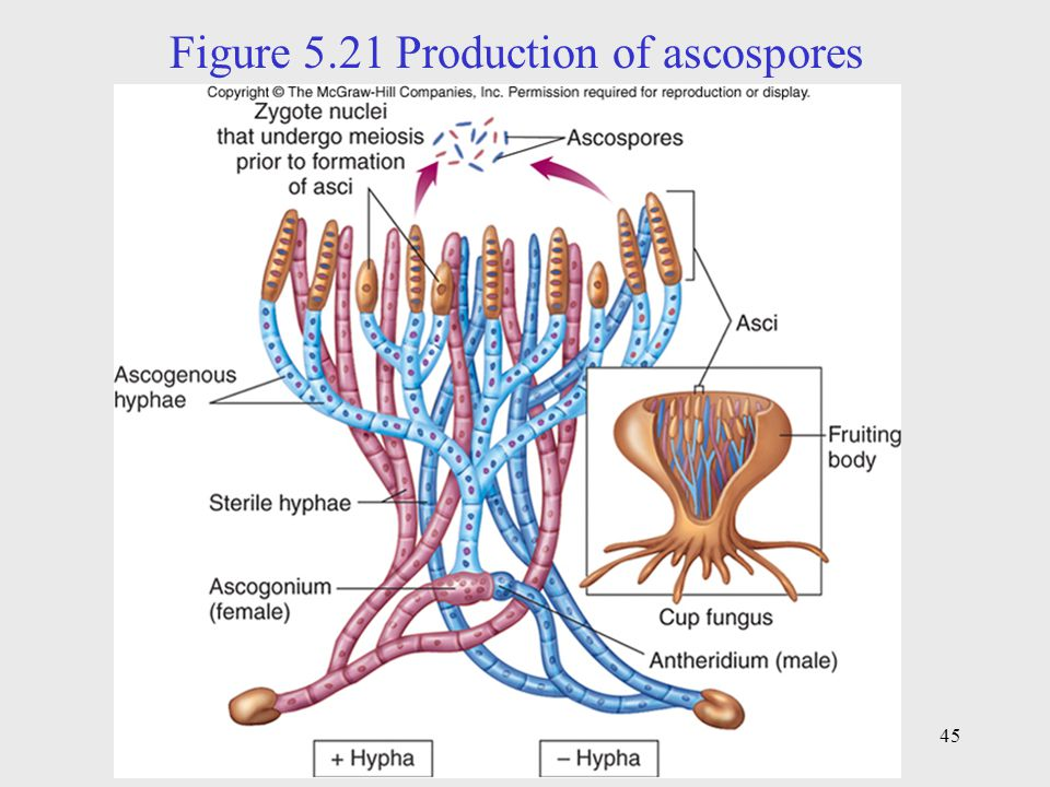 Figure 5.21 Production of ascospores