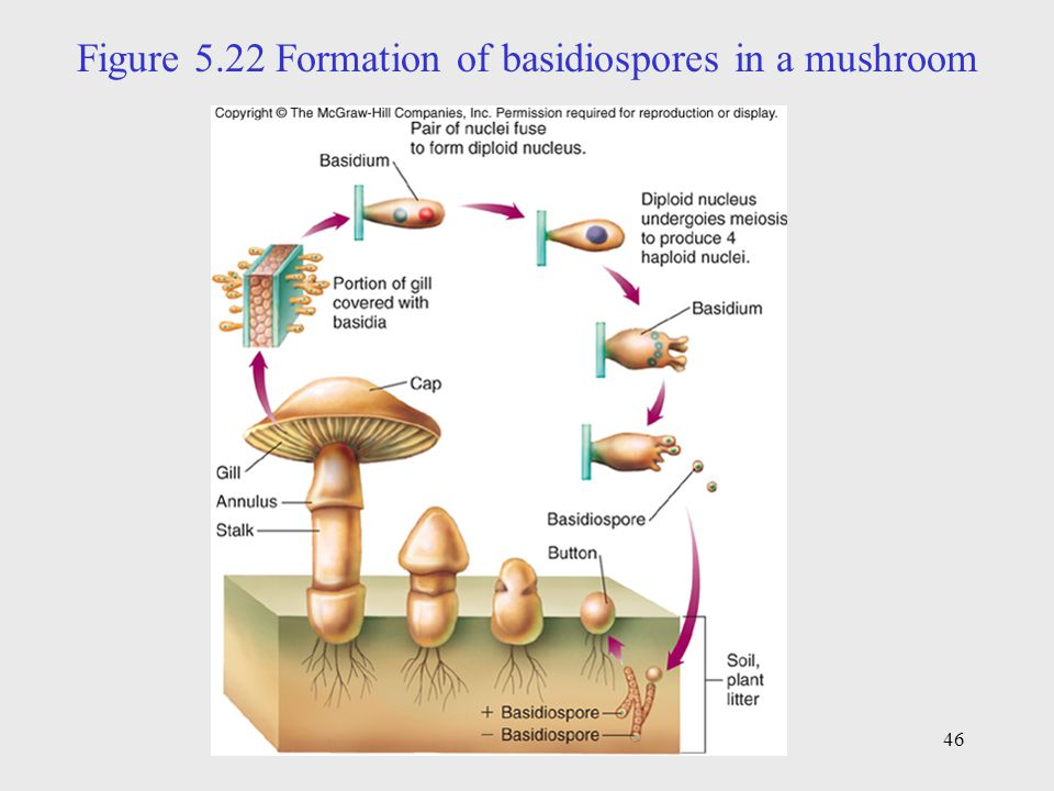 Figure 5.22 Formation of basidiospores in a mushroom