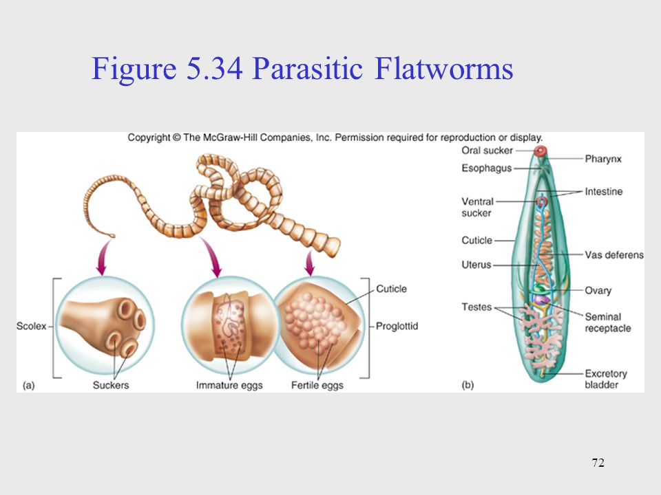 Figure 5.34 Parasitic Flatworms