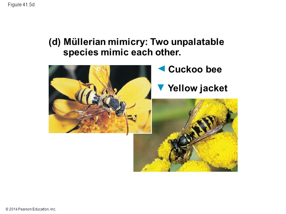 (d) Müllerian mimicry: Two unpalatable species mimic each other.