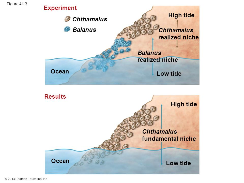 Experiment High tide Chthamalus Balanus Chthamalus realized niche