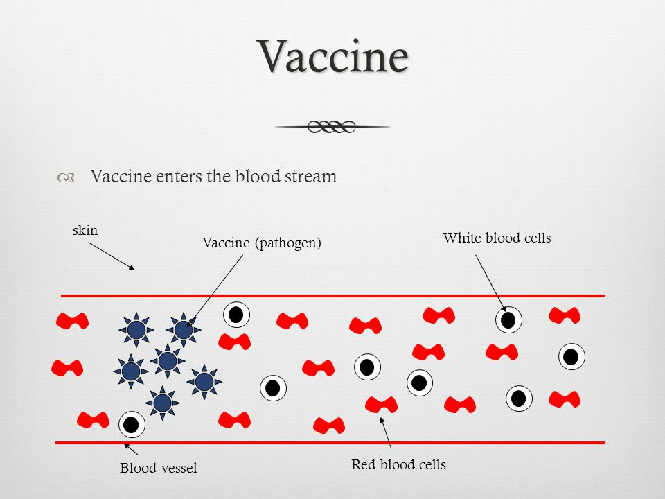 Vaccine Vaccine enters the blood stream skin White blood cells