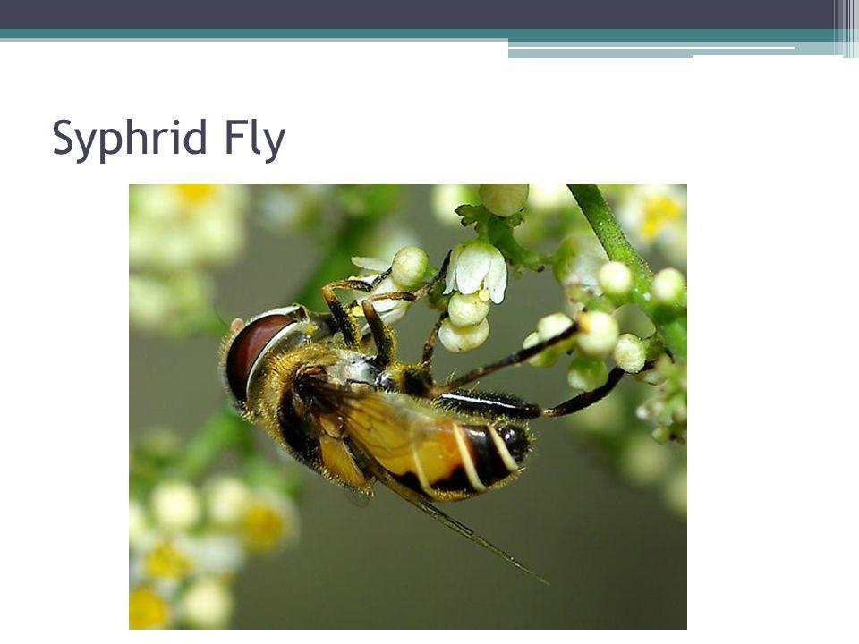 Syphrid Fly